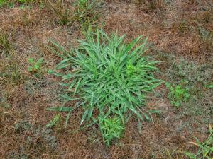 clover weed yard
