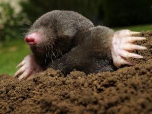 lawn mole