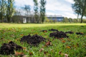 molehills in lawn