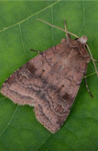 sodwebworms-lawnpests-lushlawn